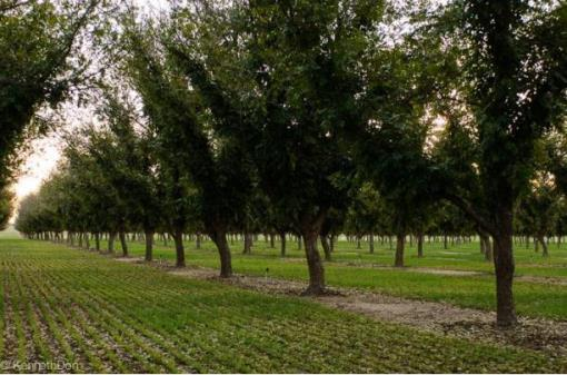 Irrigated Pecan Orchard In Lubbock County Tx